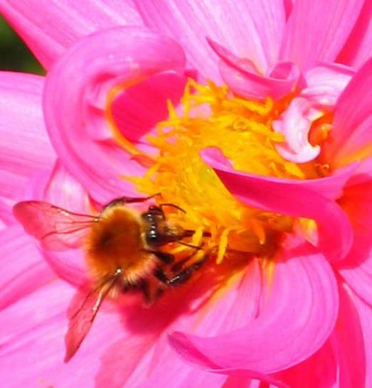 Bee gathering pollen on a dahlia bloom