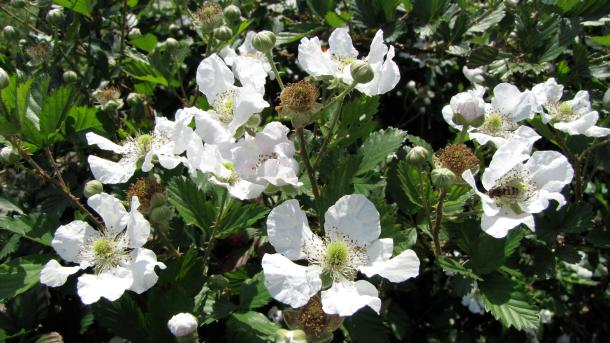 Blackberry Blooms at the Demonstration Garden