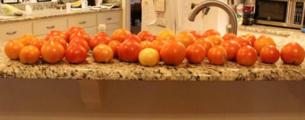 Dallas Tomatoes ripening on the counter