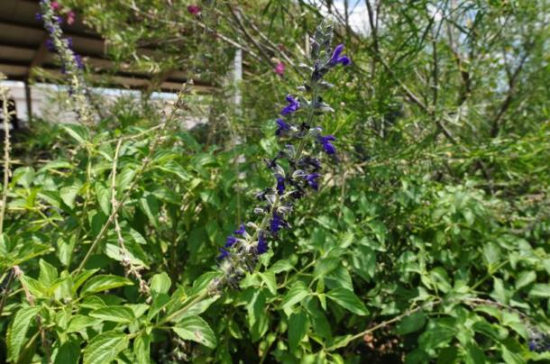 Salvia Blue Spires Blooming at the Demonstration Garden