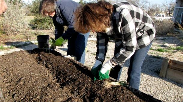 Planting Onions-January 2012