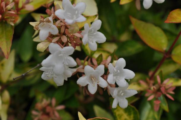 Abielia foliage with white bloom