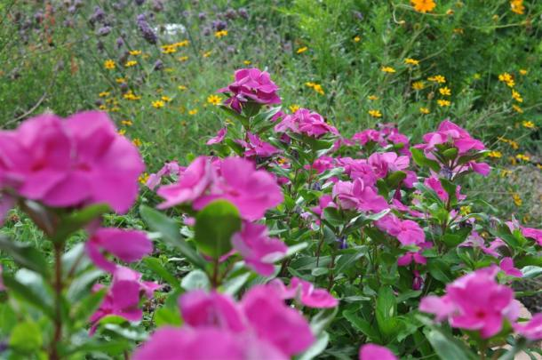 Periwinkles in front of stick verbena, zexmenia, and cosmos