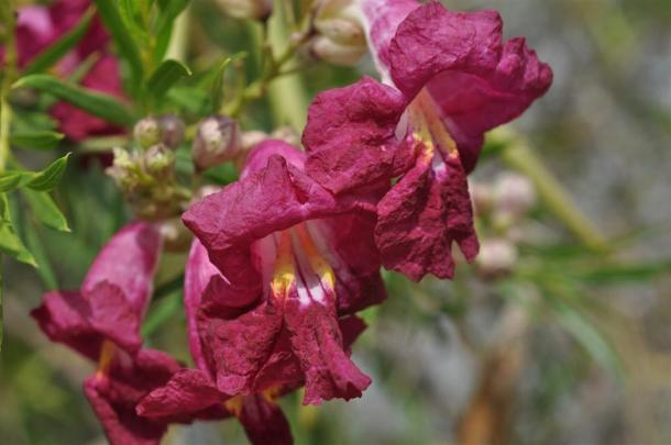 Desert Willow magenta blooms