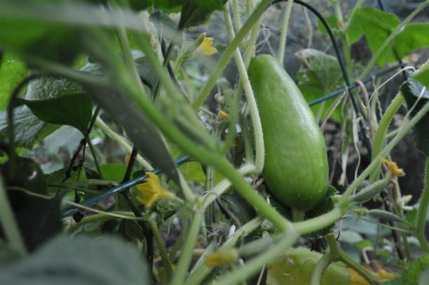 Cucumbers Growing in a Dallas Vegetable Garden on a Trellis
