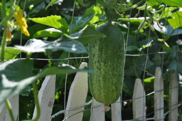 Cucumber Ready to Be Picked,Growing in a Dallas Garden