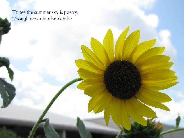 Sunflower and Sky with a quote by Emily Dickinson. garden poetry   DALLAS GARDEN BUZZ