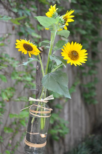 Sunflowers in a glass bottle staked to show the garden path
