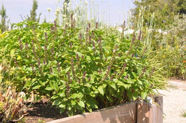 Cinnamon Basil Growing In A Rasied Bed At The Demonstration Garden