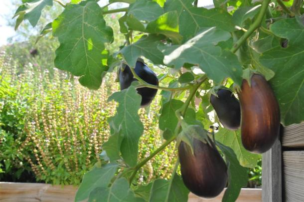 Eggplant growing in a raised bed at the Demonstration Garden in Dallas