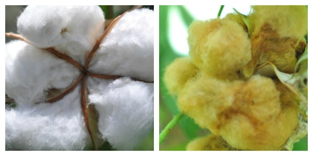White Cotton And Brown Cotton Grown At The Demonstration Garden