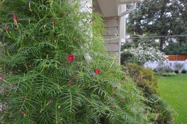 Cypress Vine Draped At Ann's House With Althea In Background