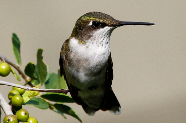 Hummingbird on Yaupon
