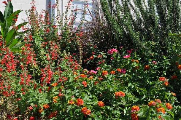 Dallas Red Lantana, Salvia, Canna, Rosemary In The Background