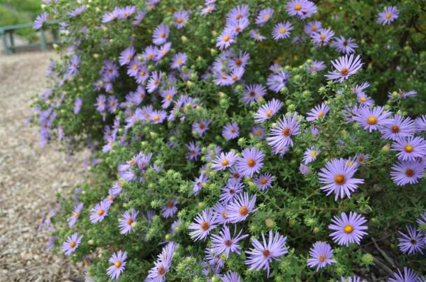 Aster Growing At The Demonstration Garden Wildlife Habitat