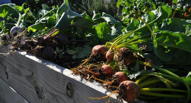 Beets And Turnips Harvested At The Demonstration Garden