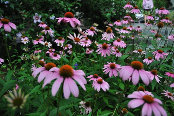 Purple Coneflower In A Dallas Garden