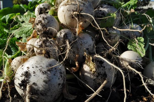 Tokyo Cross Hybrid Turnips Grown At The Demonstration Garden