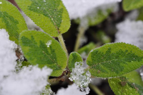 Sage In Snow