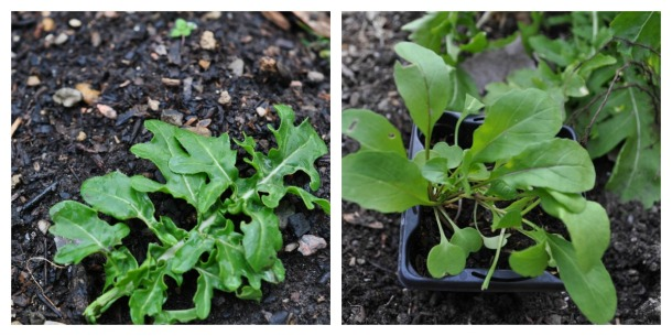 Wild Arugula Left, Regular Arugula Right