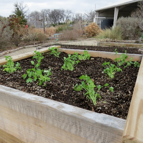 Cilantro Growing in Raised Bed, Demonstration Garden Joe Field Rd, Dallas