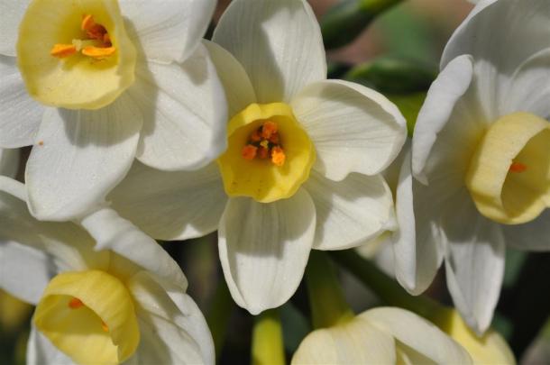 Grand Primo Narcissus