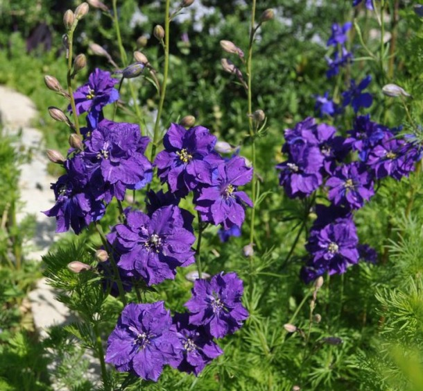 Purplish Larkspur at The Demonstration Garden