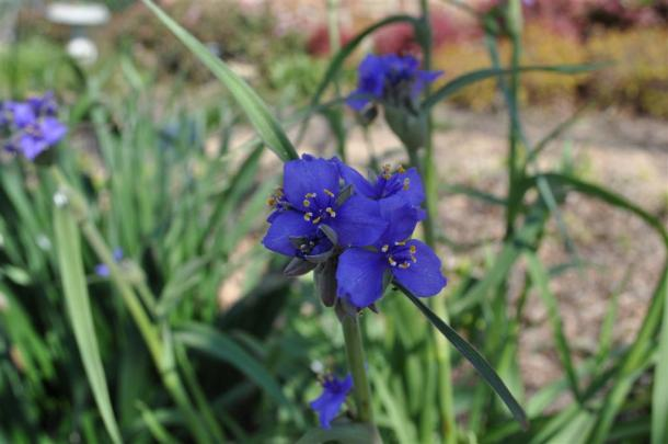 Spiderwort at The Demonstration Garden