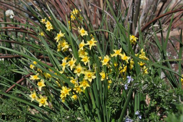 Narcissus Campernelle In Front of Red Yucca Foliage