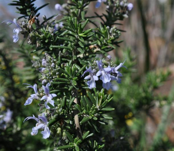 Rosemary In Bloom At The Demonstration Garden