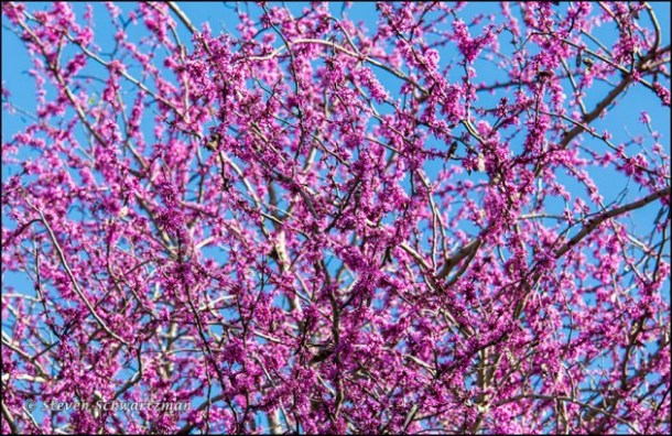 Redbud Tree Blooming In Spring