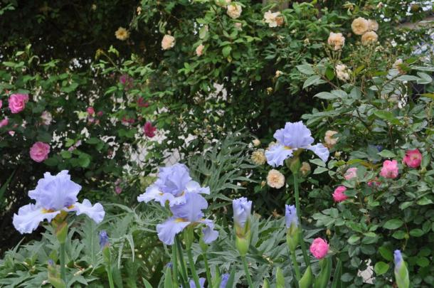 Blue Iris and Earth Kind Roses at the Demonstration Garden