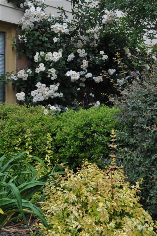 Penelope, Abelias, Daylily foliage, Dwarf Yaupon Holly