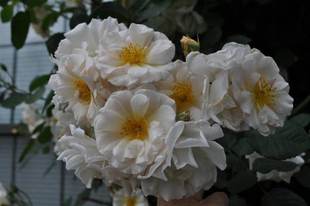 Penelope Rose Clusters