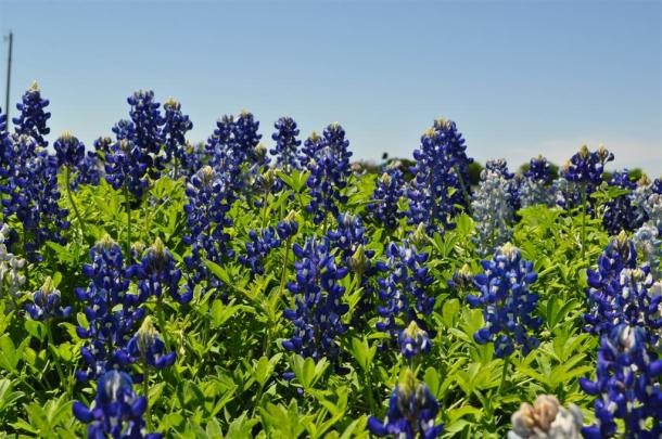 Close up of Bluebonnets in an Ennis field