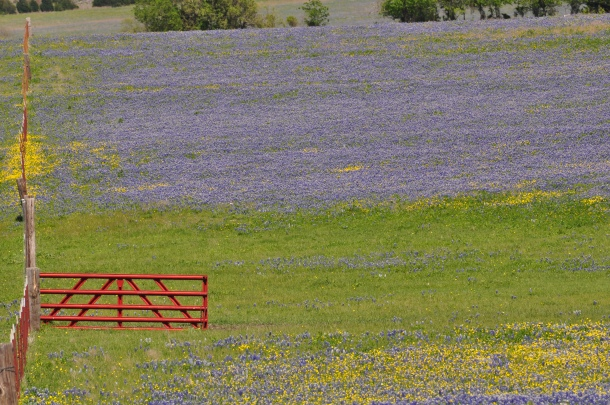 Bluebonnet Field in Ennis, Texas With Red Gate