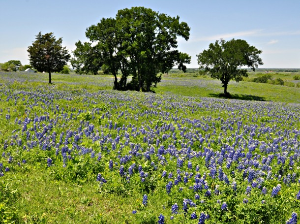 Bluebonnets Covering an Ennis Hillside
