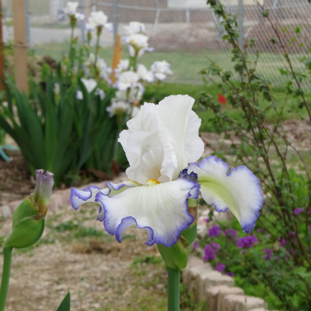 Iris Growing At The Demonstration Garden on Joe Field Road, Dallas, Texas