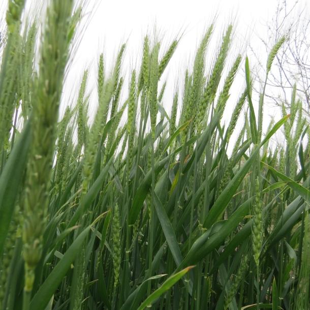Wheat Growing At The Demonstration Garden on Joe Field Road, Dallas