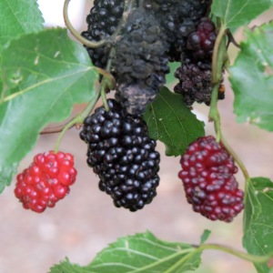Blackberries, Some Ripe