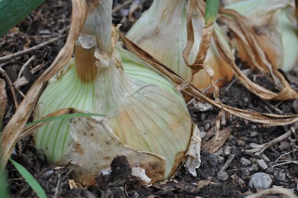 1015 Y Onions