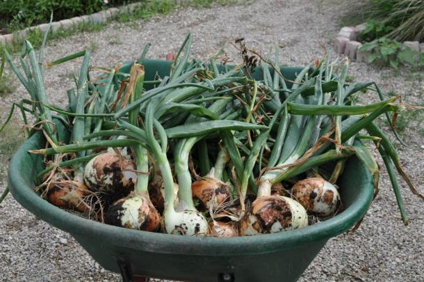Wheelbarrow Of Onions