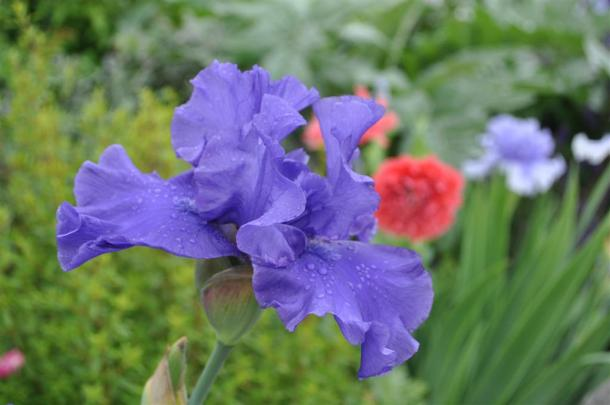 Iris with Poppy Blooming in Background