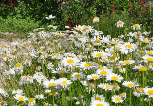 Oxeye Daisies Blooming at The Demonstration Garden