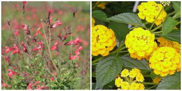 Coral Salvia and Lantana, New Gold
