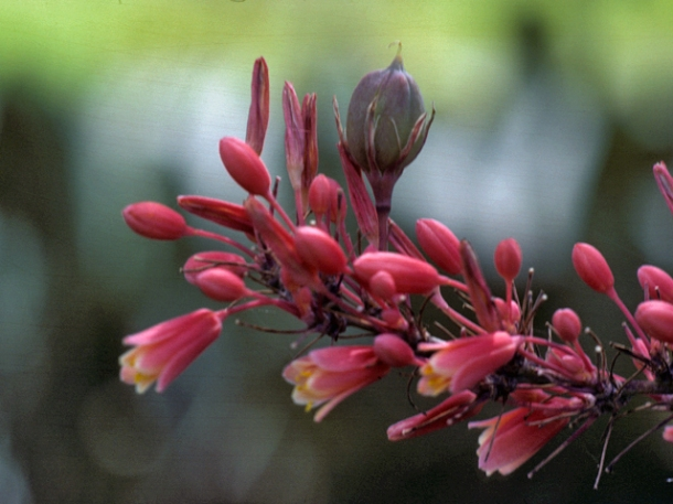 Close Up Red Yucca Bloom