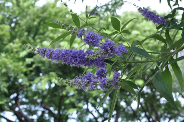 Vitex or Chaste Tree