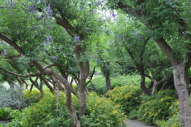 Vitex Trees at the Dallas Arboreteum
