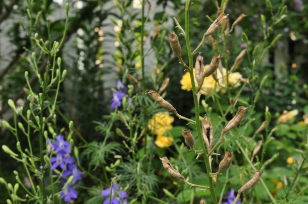 Larkspur Stalks With Seeds