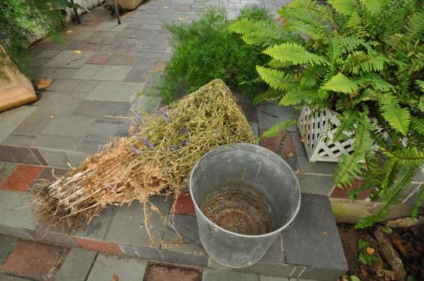 Larkspur Seed Saving Process